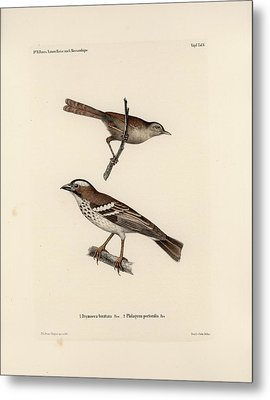 White-browed Sparrow-weaver And Grass Or Bush Warbler Metal Print by J D L Franz Wagner