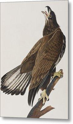 White-headed Eagle Metal Print by John James Audubon