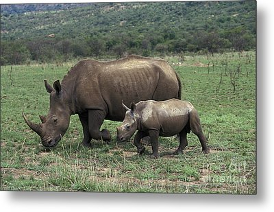 White Rhinoceros Female And Young Metal Print by Gerard Lacz