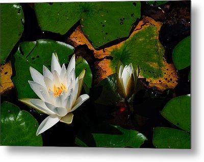 White Water Lilies Metal Print