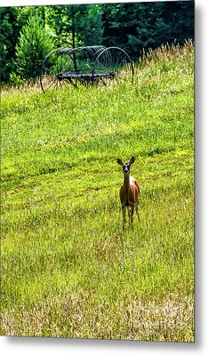 Metal Print featuring the photograph Whitetail Deer And Hay Rake by Thomas R Fletcher