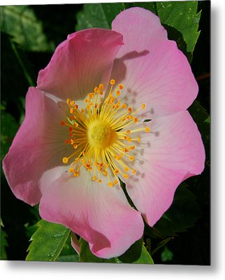Metal Print featuring the photograph Wild Rose by Marilynne Bull