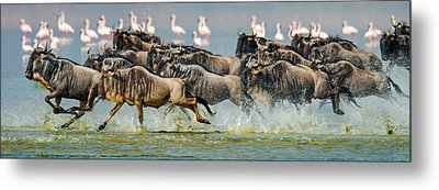 Wildebeests Connochaetes Taurinus Metal Print by Panoramic Images