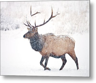 Metal Print featuring the photograph Winter Bull by Mike Dawson