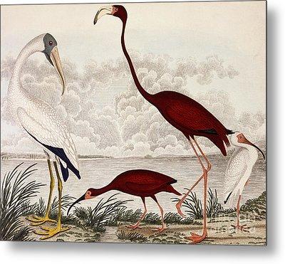 Wood Ibis, Scarlet Flamingo, White Ibis Metal Print