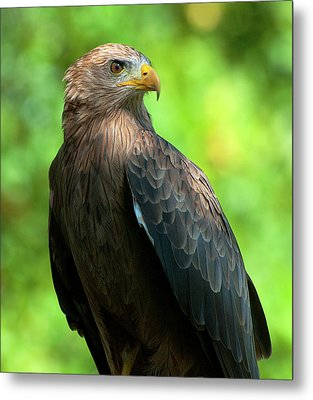 Yellow-billed Kite Metal Print