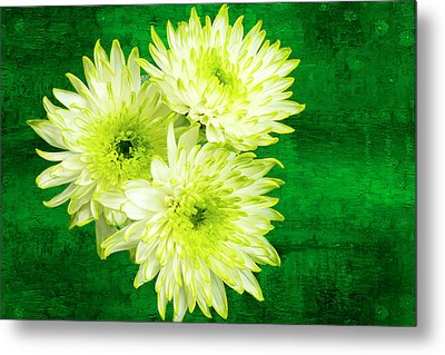 Yellow Chrysanthemums On A Green Background. Metal Print by Paul Cullen