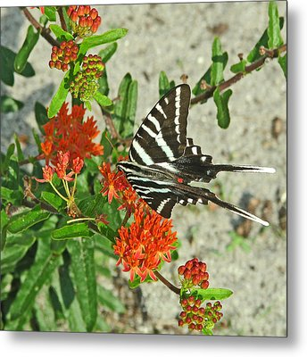 Metal Print featuring the photograph Zebra Swallowtail by Peg Urban