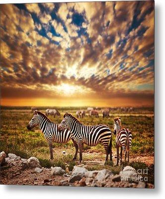 Zebras Herd On African Savanna At Sunset. Metal Print