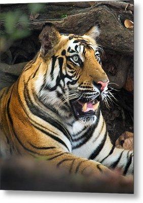 Bengal Tiger Panthera Tigris Tigris Metal Print