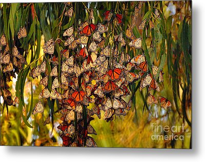 Butterflies Metal Print by Marc Bittan
