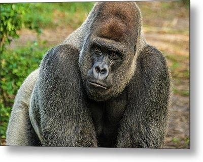 10898 Gorilla Metal Print by Pamela Williams