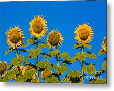 Field Of Sunflowers Metal Print by Bernard Jaubert