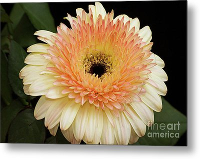 Beautiful Gerber Metal Print