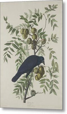 American Crow Metal Print by Anton Oreshkin