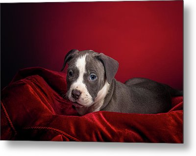 American Pitbull Puppy Metal Print by Peter Lakomy