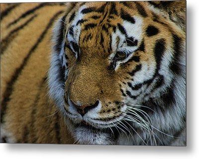 Amur Tiger Metal Print by Martin Newman