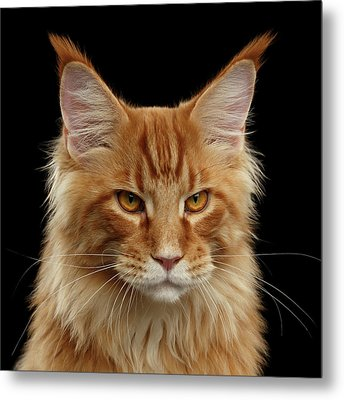 Angry Ginger Maine Coon Cat Gazing On Black Background Metal Print by Sergey Taran