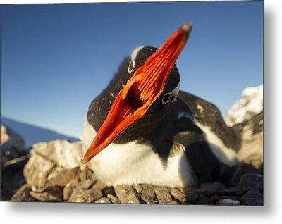Antarctica, Petermann Island, Gentoo Metal Print