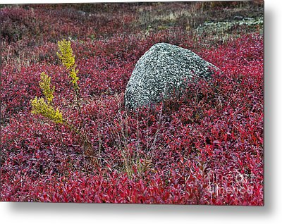 Autumn Blueberry Field Metal Print by John Greim