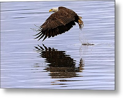 Bald Eagle Flying Metal Print by Ed Book