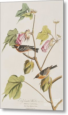 Bay Breasted Warbler Metal Print by John James Audubon