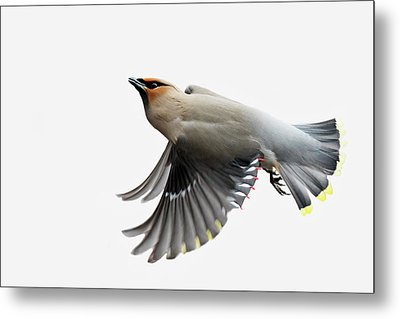 Metal Print featuring the photograph Bohemian Waxwing  by Mircea Costina Photography