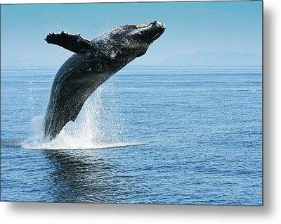 Breaching Humpback Whales Happy-1 Metal Print