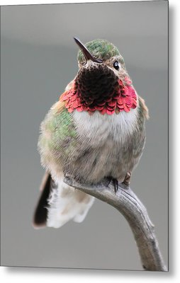 Broad-tailed Hummingbird Metal Print by Shane Bechler