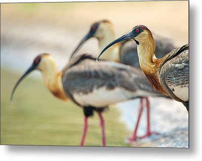 Buff-necked Ibis Theristicus Caudatus Metal Print by Panoramic Images