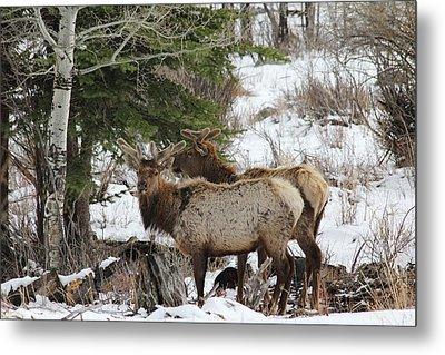 2 Bull Elk In May Snowstorm Metal Print by David Wilkinson
