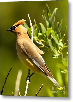 Cedar Waxwing Closeup Metal Print by Adam Jewell