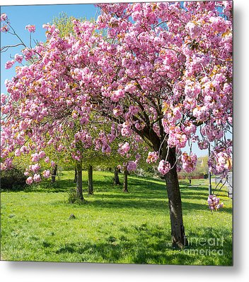 Cherry Blossom Tree Metal Print by Colin Rayner