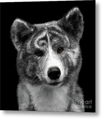 Closeup Portrait Of Akita Inu Dog On Isolated Black Background Metal Print by Sergey Taran