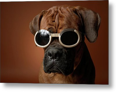Dog Wearing Sunglasses Metal Print by Chris Amaral