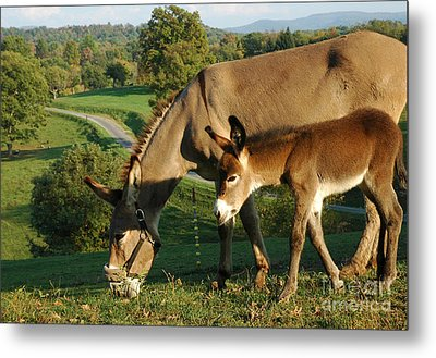 Donkey With Foal Metal Print by Thomas R Fletcher