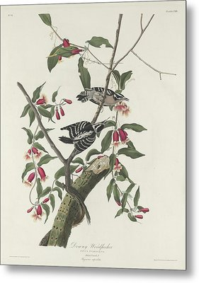 Downy Woodpecker Metal Print