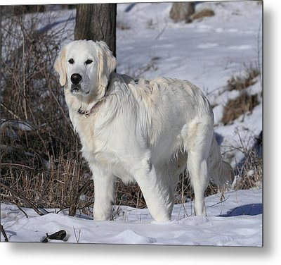 English Cream Golden Retriever Metal Print