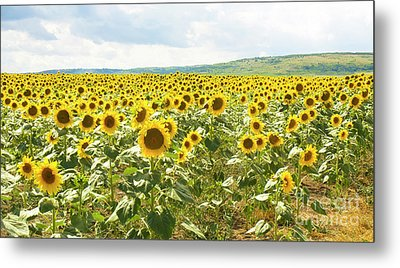 Field With Sunflowers Metal Print
