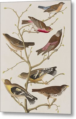 Finches Metal Print by John James Audubon