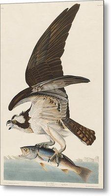 Fish Hawk Metal Print by Rob Dreyer