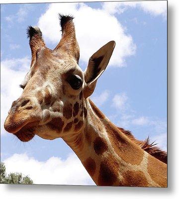 Giraffe Getting Personal 6 Metal Print
