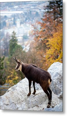 Goat In The Austrian Alps Metal Print by Andre Goncalves