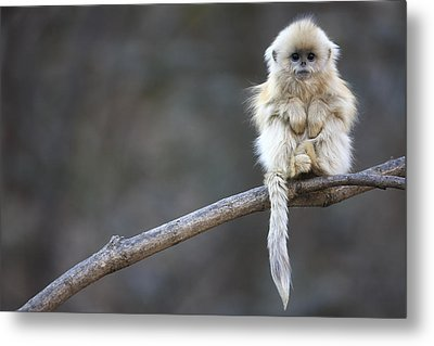 Golden Snub-nosed Monkey Rhinopithecus Metal Print by Cyril Ruoso