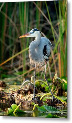 Great Blue Heron Metal Print by Matt Suess