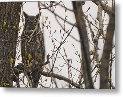 Great Horned Owl Metal Print by Matt Steffen