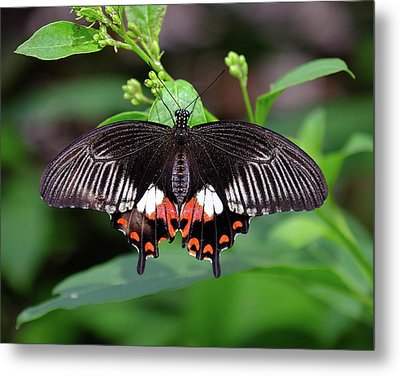 Great Mormon Butterfly Metal Print