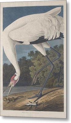 Hooping Crane Metal Print