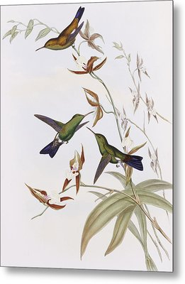 Hummingbirds Metal Print by John Gould