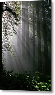 In The California Redwood Forest. Metal Print by Ulrich Burkhalter